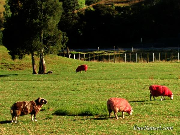 Domba rasa coklat dan stroberi di Sheep World, Pulau Utara Selandia Baru