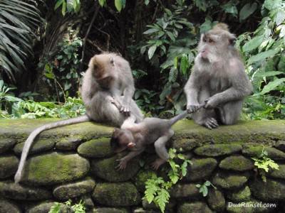 Keluarga monyet di hutan monyet Ubud, Bali