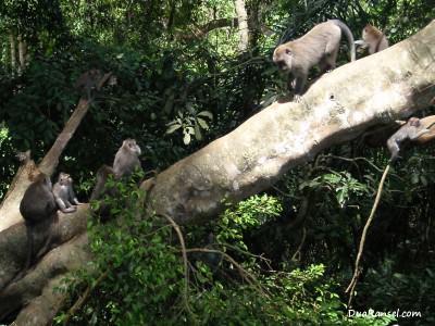 Rapat para monyet. Ubud, Bali