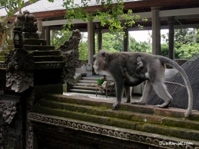 Monkey mom and the baby. Ubud, Bali
