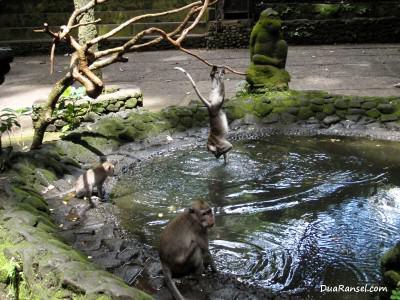Monyet bermain di kolam. Ubud, Bali