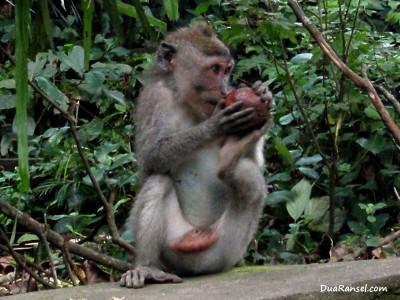 Monyet makan salak Bali. Ubud, Bali