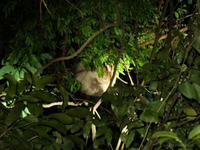 Sloth di hutan hujan tropis Monteverde, Costa Rica