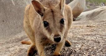 Perkenalkan, Rock Wallaby dari Granite Gorge, Australia!