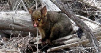 Australia - Tasmania - Freycinet - Baby Possum Attack - 2R 620