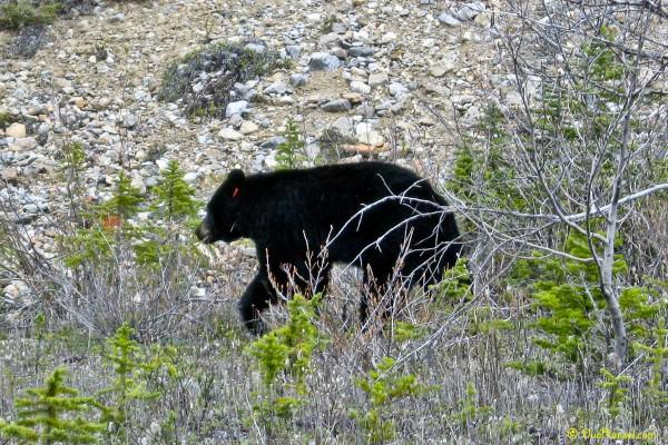 Black bear di Jasper National Park, Alberta, Canada - Canadian Rockies