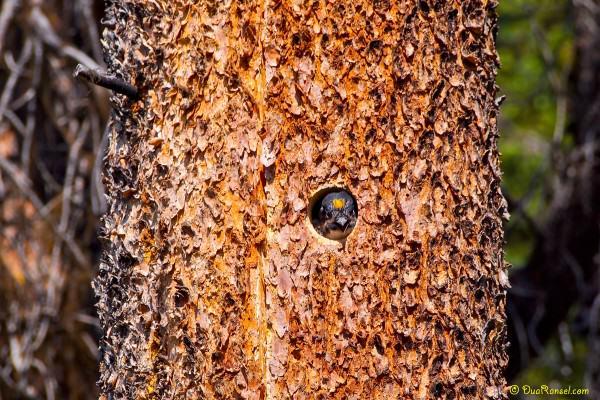 Baby woodpecker, Emerald Lake, Yoho National Park, BC, Canada 1
