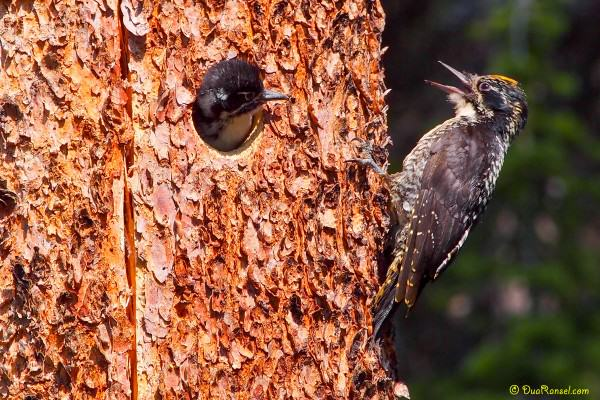 Baby woodpecker, Emerald Lake, Yoho National Park, BC, Canada