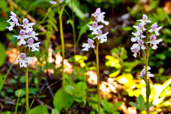 Mini orchid - Yoho National Park, BC, Canada - Canadian Rockies
