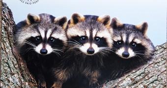 kartu pos duaransel 75 - Canada raccoons