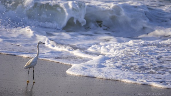 A bird playing with the waves at Quilon Beach, Kerala